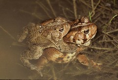 American Toad Bufo americanus NC Watauga Co 1998 1 (The Herp Project) Tags: toad