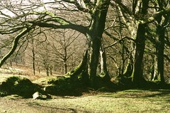 Beech Boundary (jonshort58) Tags: camera trees film vintage fuji superia 200asa devon april dartmoor beech 1930 leicai leitzxenon5cmf15