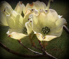 DOGWOOD OF A DIFFERENT COLOR (n&pdav) Tags: new york white blossoms upstate dogwood