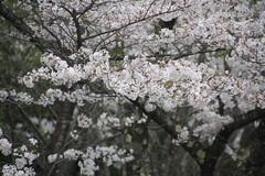 shiratori sakuraの壁紙プレビュー