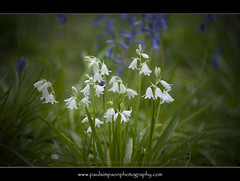Whitebells (Paul Simpson Photography) Tags: uk flower green nature leaves bluebells spring naturalworld bluebonnets springtime undergrowth whitebells photosof imageof photoof imagesof may2012 paulsimpsonphotography