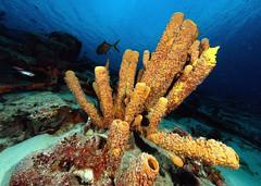 "sponges (gillybooze (David)) Tags: sea underwater caribbean bonaire sponges autofocus thegalaxy ©allrightsreserved ""flickraward"" ""flickraward5"" mygearandme mygearandmepremium mygearandmebronze mygearandmesilver mygearandmegold mygearandmeplatinum mygearandmediamond ""flickrawardgallery"" madaleundewaterimages rememberthatmomentlevel4 rememberthatmomentlevel1 magicmomentsinyourlife magicmomentsinyourlifelevel2 rememberthatmomentlevel2 rememberthatmomentlevel3 magicmomentsinyourlifelevel4"