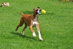 Well caught sir (pete luck) Tags: boxerdog boxer boxerpuppy highqualityanimals maleboxerdog