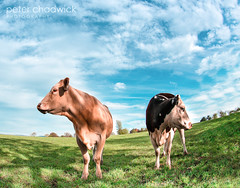 Facing both ways (PeterChad) Tags: uk england brown sun nature field grass sunshine closeup female wonder countryside cow couple cheshire personal cut farm beef pair breath meat attitude butcher nostril steak argument agriculture closeness curiosity intimacy heffer disagreement inyourface twofaced marriedlife idiom grassisalwaysgreener