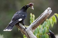 Pied Currawongs (duffohyeah) Tags: birds mouse australia redhill canberra currawong australiancapitalterritory piedcurrawong streperagraculina redhillnaturepark