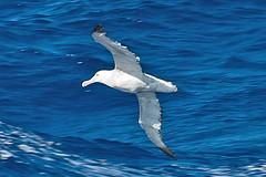 010001-IMG_2344 Wandering Albatross (Diomedea exulans ?) (ajmatthehiddenhouse) Tags: bird 2012 wanderingalbatross diomedeaexulans diomedea exulans wpo2012