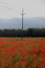 Tridente (Diego Miras) Tags: red flores nature rojo poste poppy poppies montcada amapolas amapola tridente natutaleza campodeamapolas