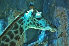Giraffe (Robert Hruzek) Tags: zoo head houston spot giraffe horn 2012
