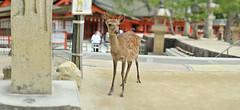 MIYAJIMA_ITSUKUSIMA_JAPAN_0000 (yuicino) Tags: shrine miyajima  itsukushima   tokyodjp