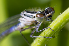Damselfly (Muzby1801) Tags: above autumn summer hairy colour detail macro nature beautiful up canon insect lens creativity fly photo interestingness spring amazing nice interesting eyes dragon close dragonfly wildlife extreme watch great bugs 100mm best sharp bbc tiny crop times 28 f56 favourite popular lifesize f8 armour f11 f28 f4 antenna sensor damselflies hairs damsel 4x mpe 65mm 3x f13 springwatch 5x 60d countryfile
