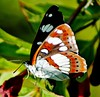 White Admiral.  'limentis camilla' (Paul (Barniegoog)) Tags: summer orange brown france nature butterfly insect wings purple limousin purpleemperor hautevienne apaturairis elitebugs