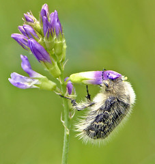 beetle 184 (dearAN .G) Tags: flower macro insect beetle cvet macrolife