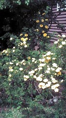 Assorted Aspen - Yellow Roses of Aspen June, 2012