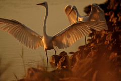 Catchin' Rays (Explored) (danny.mayan1386) Tags: light egrets greategrets bombayhook sunriseangle