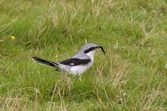 Great Grey Shrike 110917 Lanius excubitor (Langham Birder) Tags: scotland fairisle shetland laniusexcubitor greatgreyshrike
