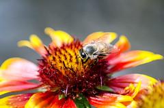 Arizona Sun Flower and Friend, #2 (Maggggie) Tags: red arizona orange flower yellow garden bee sunflower fbdg
