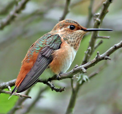 Rufous Hummingbird (K. Menzel Photography (away)) Tags: bird nature photography hummingbird feathers coyotehills rufous irridescence menzel specanimal
