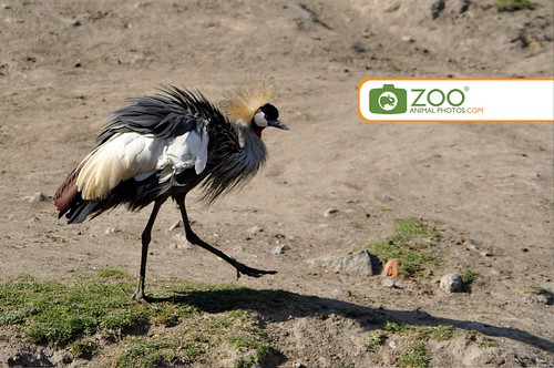 Crowned Crane following shadow