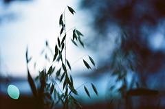 NIGHTTIME GRASSES (La Branaro) Tags: park blue slr film grass 1 evening twilight dof waterfront kodak bokeh michigan olympus 35mmfilm grasses om om1 midland shallowdepthoffield ektar grassheads eveningcolors romanticlight pushprocessing 50mmf35macro zuikomacro ektarpushedto400 ektarat400