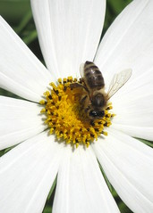 a kells kzepe / the very centre (debreczeniemoke) Tags: white plant flower garden insect wasp asteraceae virg cosmea kert schmuckkrbchen cosmosbipinnatus nvny rovar fehr mexicanaster gardencosmos darzs pillangvirg flutura canonpowershotsx20is szirzsaflk astrulmexicului mrri