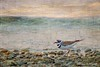 Killdeer (Passion4Nature) Tags: sunset lake birds killdeer birding textures lakeshore upnorth ie birdwatching plover lakecharlevoix motat charadriusvociferus moonseclipse memoriesbook tatot magicartoftextures artistictreasurechest magicuniverse magicunicornverybest magicunicornmasterpiece