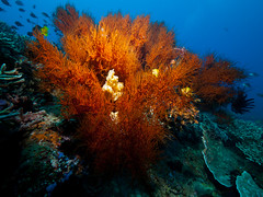 Soft coral / sponge (altsaint) Tags: underwater philippines panasonic x2 gf1 inon 714mm