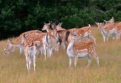 Fallow Deer in a Kent meadow (One more shot Rog) Tags: wildlife meadow meadows spot deer antlers spots fallowdeer buck fallow deers britishwildlife antler knole knolepark horna