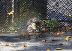 Hawk bathing in a rainbow (Goggla) Tags: nyc new york manhattan east village tompkins square park urban wildlife bird raptor red tail hawk fledgling juvenile bath bathing sprinkler rainbow summer goglog
