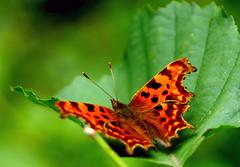 Comma (DSNINE) Tags: ywt yorkshirewildlifetrust butterfly doncaster dsnine comma