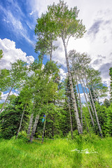Colorado Aspen Trees in San Juan National Forest (Cathy Neth) Tags: 1424mm 2016inphotos 365photoproject 365project flowermoundphotographer flowermoundphotography forest sanjuannationalforest beautifullandscapes bluesky cathyneth cathynethphotography circularpolarizer cnethphotography colorado coloradolandscapes d810 landscape landscapephotography landscapes leefilters lookingup nature naturesbeauty nikon nikond810 pagosasprings pagosaspringscolorado pagosaspringslandscapes project365 rollingwhiteclouds treephotography trees whiteclouds whitepuffyclouds aspentrees