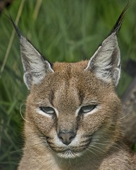 Photo of Caracal