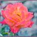 Pink Summer Rose