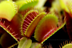 233/366 - Ready for dinner! (Sinuh Bravo Photography) Tags: canon eos7d potd2016 ayearinphotos plant macro dionaeamuscipula carnivorous venusflytrap