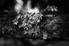 Lichens, Bute Park (Neil Schofield) Tags: lichen butepark cardiff wales caerdydd cymru tree flora nature