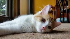 Yancy (DDA1) Tags: saveapetilorg adoption adoptioncenter adoptionshelter adoptable adopt kitten foster