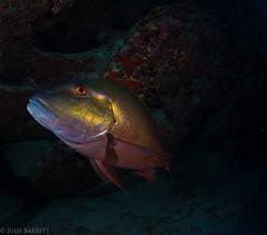 Grand Cayman (jcl8888) Tags: specanimal nikon d7200 cayman snapper nauticam tokina 1017mm scuba diving