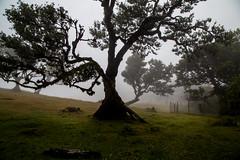Fanal IV (Signorina Z) Tags: fanal madeira laurisilva lorbeerwald lorbeerbaum natur nebel wood forest bay tree laurel fog mist