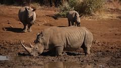Mighty rhinos - Explored (crafty1tutu (Ann)) Tags: travel holiday 2016 southafrica africa animal rhinoceros wild inthewild roamingfree crafty1tutu canon5dmkiii anncameron