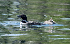 Mama and baby loon10 (rogue0075) Tags: bluesea cottage