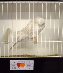 BOC Any Other Colour 250-1 J Sopp (Brother G) Tags: hastings budgerigar society open show 2016