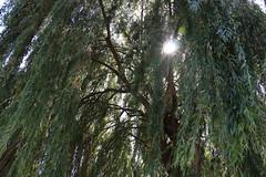 """62 - Der """"Elfenbaum"""" (julia_HalleFotoFan) Tags: saale wettin fluss schifffahrt ausflug baum trauerweide"""