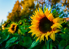 Evening sun (Joni Mansikka) Tags: summer nature evening light flowers sunflowers yellow green plant petals outdoor field paimio suomi finland