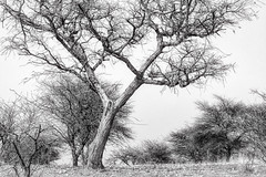 Bare Branches (Daniela 59) Tags: tree trees treemendoustuesday shrubs bare leafless barebranches khomashochland daanviljoengamepark drought dry dryseason blackandwhite danielaruppel