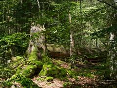Waldlandschaft (gartenzaun2009) Tags: bayerischerwald nationalpark tier tierfreigelnde