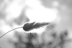 hope (60anhour) Tags: noiretblanc blackandwhite douceur sweet plume