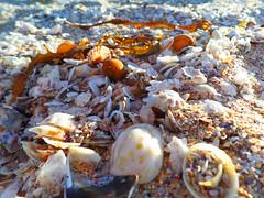 Seashells (jo.elphick) Tags: seashells beach sunset seaweed australia murramarang nsw