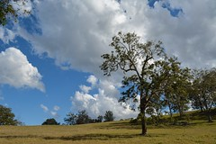 Rough Barked Apple Gum (dustaway) Tags: tree myrtaceae australiantrees angophorasubvelutina roughbarkedapplegum hillside crest cloudscape bluesky paddock scrubbycreek backcreekvalley northernrivers nsw australia australianlandscape