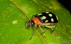 Flea beetle, Chrysomelidae (Ecuador Megadiverso) Tags: andreaskay ecuador beetle book chrysomelidae coleoptera fleabeetle leafbeetle puyo