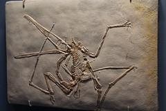 Pterosaur fossil (horticulturehijinks) Tags: pterosaur fossil dinosaur