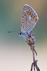 Polyommatus icarus (Cristian Arghius) Tags: sonya7 rodenstockscitexs350110 canonautobellows rrstp243tripod kpst5d zerenestacker macro naturallight focusstack insect butterfly polyommatusicarus